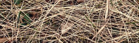 Closeup of old aged dry grass straw background texture. Macro of textured eco natural backdrop. Ecological organic autumn fall foliage hay wallpaper. Web banner header.