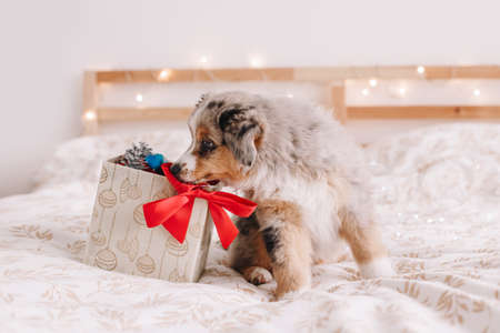 Cute small dog pet sitting on bed at home exploring gift box with presents. Christmas New Year holiday celebration. Adorable miniature Australian shepherd dog puppy sniffing toys.