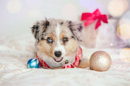 Cute small dog pet lying on bed at home with ornaments. Christmas New Year holiday celebration. Adorable miniature Australian shepherd dog puppy with Christmas toys. Foto de archivo
