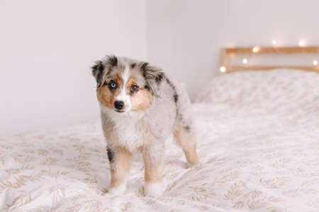 Cute small miniature Australian shepherd dog pet on bed at home. Christmas New Year holiday celebration. Adorable dog puppy with different color eyes looking in camera. Home alone. Stock Photo