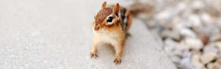 Cute small red brown chipmunk looking at camera. Yellow ground squirrel chipmunk Tamias striatus in natural habitat. Wild animal in nature outdoors. Web banner header. Standard-Bild