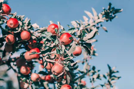 Beautiful ripe red apples on branches in orchard garden against blue sky. Organic sweet fruits hanging on apple trees at farm. Eco natural background. Sunny summer. Autumn day in countryside.