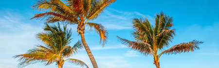Beautiful tropical nature Florida landscape. Tall palm trees against blue sky at sunset. View with exotic plants. Summer seasonal background outdoor. Web banner header.