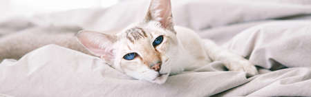 Beautiful blue-eyed oriental breed cat lying resting on bed looking at camera. Domestic pet with blue eyes relaxing at home. Adorable furry animal feline friend. Domestic life. Web banner header Standard-Bild