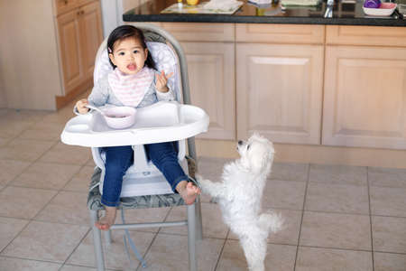 Asian Chinese kid girl sitting in high chair eating soup with spoon. Cute hungry dog pet asking for food treat. Toddler eating independently in kitchen at home. Candid funny home authentic moment
