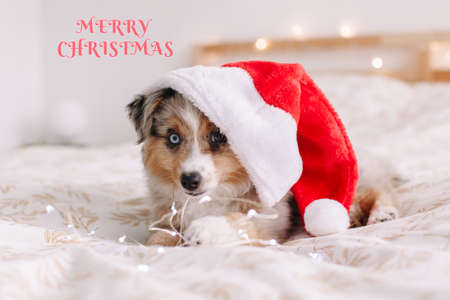 Merry Christmas. Holiday card with greeting text. Cute small dog pet in Santa hat lying on bed at home. Christmas New Year holiday celebration. Adorable miniature Australian shepherd dog puppy.