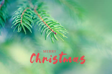 Merry Christmas. Holiday card with greeting text. Beautiful natural fir Christmas tree background. Light green pine tree branches with small buds of brown pine cones. Seasonal forest park nature. Standard-Bild
