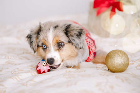 Cute small dog pet lying on bed at home with winter holiday ornaments baubles. Christmas New Year holiday celebration. Adorable miniature Australian shepherd dog puppy with Christmas toys. Standard-Bild
