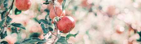 Ripe red apples on branches in orchard garden. Sweet fruits hanging on apple trees at farm. Eco natural background. Sunny summer or autumn fall day in countryside outdoors. Web banner header.