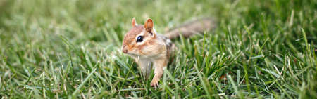 Cute small striped red brown chipmunk sitting in green grass. Yellow ground squirrel chipmunk Tamias striatus in natural habitat. Wild rodent animal in nature outdoors. Web banner or header.