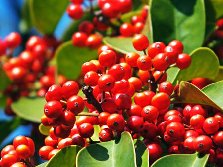 chinese holly: Dwarf Chinese holly