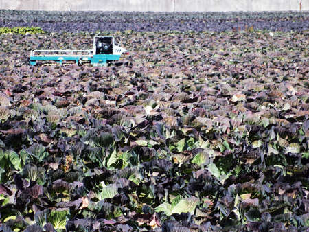 cabbage patch: a cabbage patch in Japan