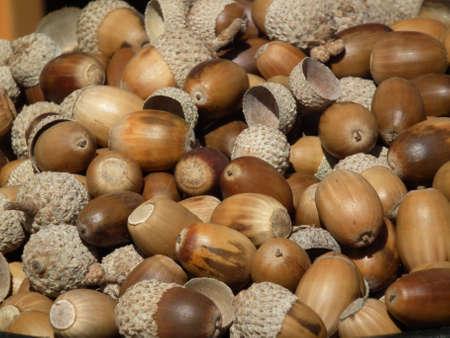 acorn gathering Stock Photo