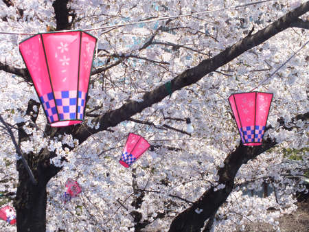 cherry‐blossom viewing