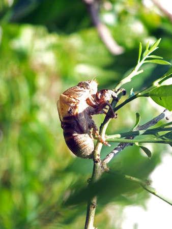 cast off: cast-off skin of cicada
