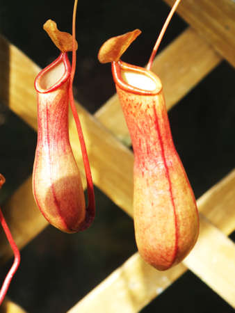 insectivorous: genus nepenthes