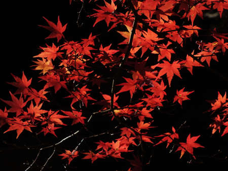 viewing of maples in central Japan Korankei Aichi  photo