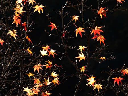 momiji: viewing of maples in central Japan Korankei Aichi