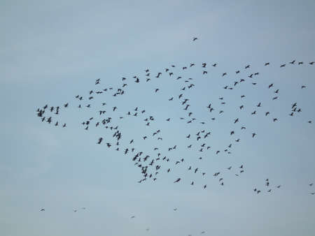 migratory birds: Flock of migratory birds