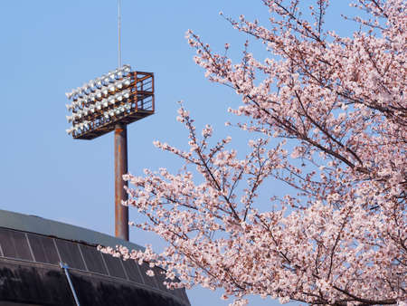 Cherry blossoms in the baseball stadium
