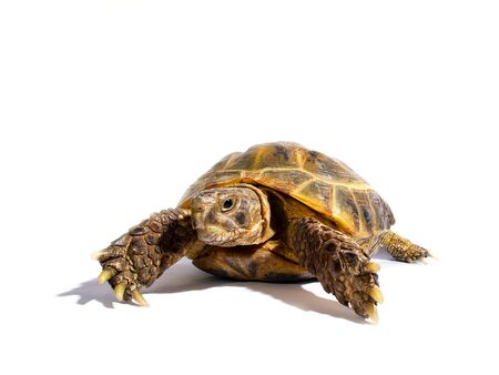 Turtle on a white background Stock Photo - 526874