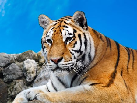 Big Tiger Stock Photo - 553286