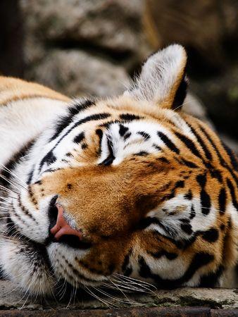 Big Tiger sleep Stock Photo - 553283