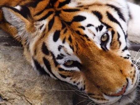 Big Tiger on a black background Stock Photo - 553275