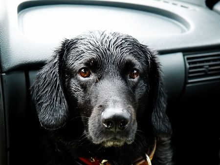 wet dog in a car photo
