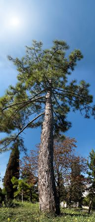 PANORAMA OF THE LONELY PINE IN CITY PARK Stock Photo - 558104