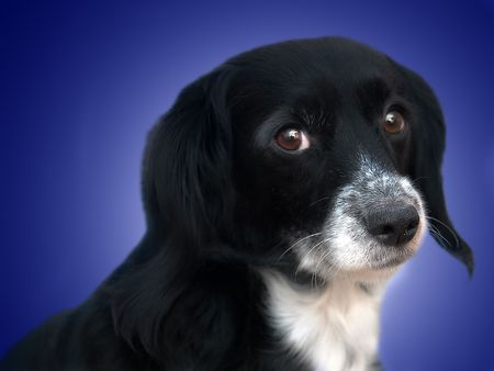 this is a black dog on a white background Stock Photo - 563111