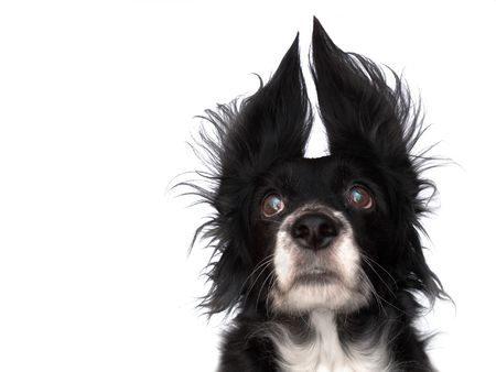 this is a black dog on a white background