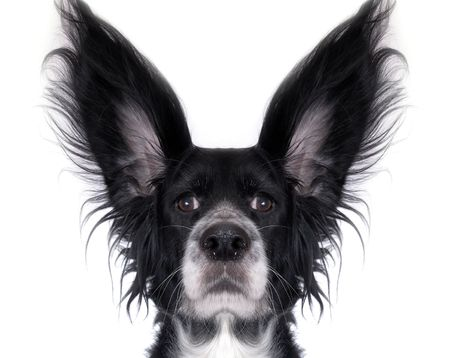 cocker: this is a black dog on a white background