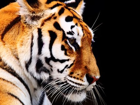 tiger hunting: Big Tiger on a black background Stock Photo