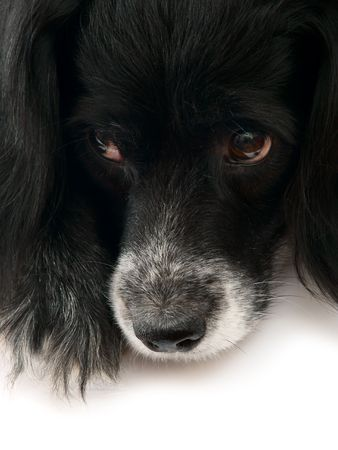 this is a black dog on a white background Stock Photo - 758378