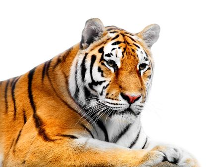 siberian tiger: Big Tiger on a white background
