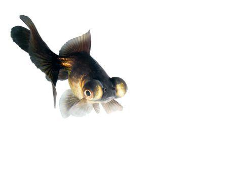 Black goldfish Stock Photo - 910699
