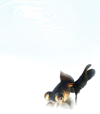 Black goldfish Stock Photo - 910700