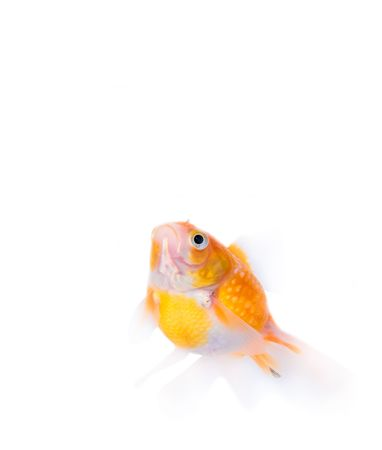 goldfish Stock Photo - 910701