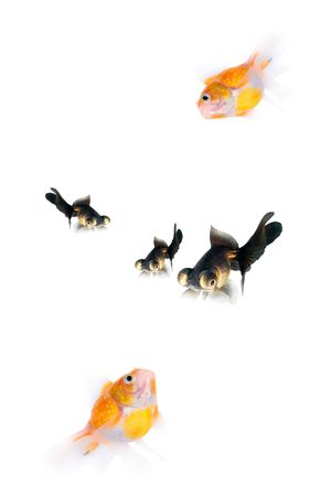 gold and black fishs Stock Photo - 910702