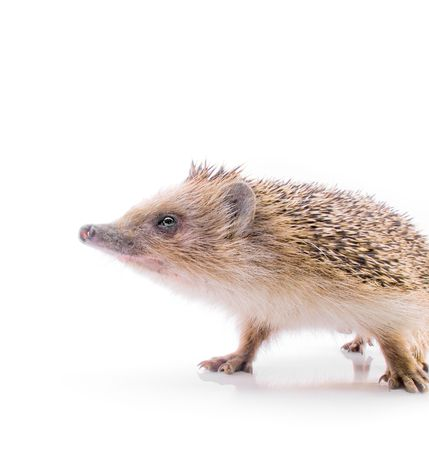 insectivorous: Hedgehog on a white background