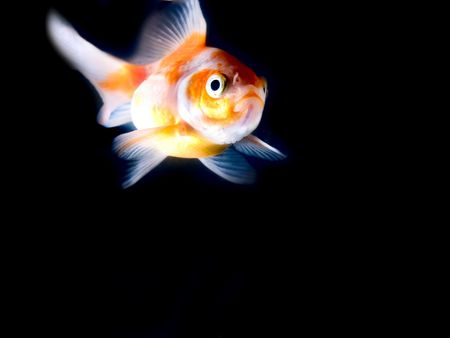 goldfish Stock Photo - 910706