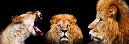 savana: lions on black background