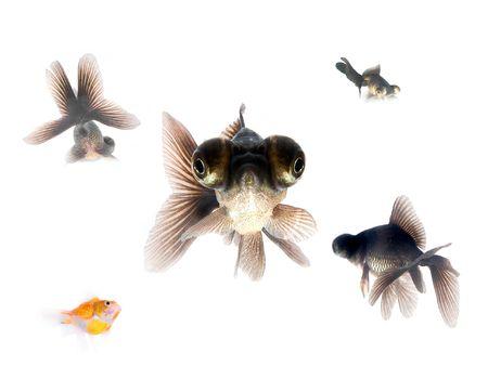 Black goldfishes photo