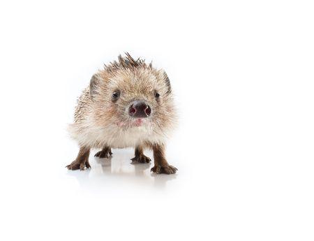 Hedgehog on a white background