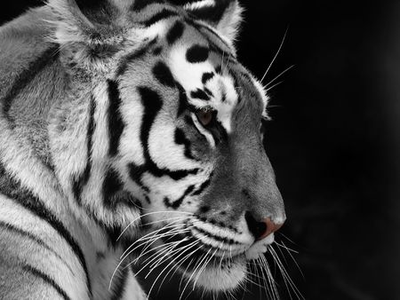 Big Tiger on a black background Stock Photo - 930892