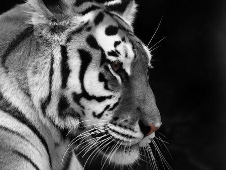 Бенгалия: Big Tiger on a black background Фото со стока