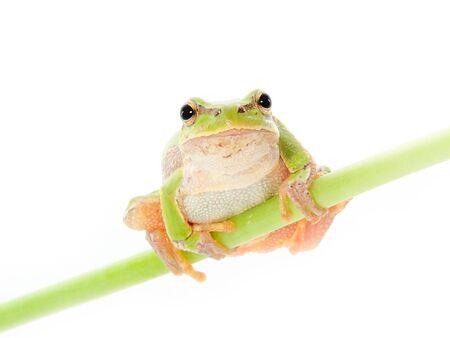 grenouille verte: Grenouille verte sur fond blanc Banque d'images