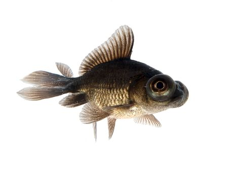 Black goldfish Stock Photo - 970348