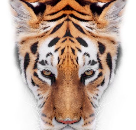 sunglight: Big Tiger on a white background